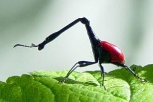 kumbang jerapah